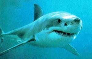 regle du requin